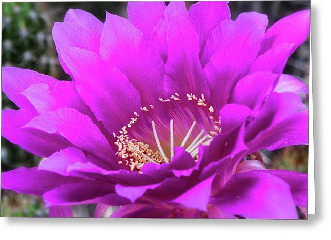Greeting Card featuring the photograph Pink Echinopsis Bloom  by Saija Lehtonen