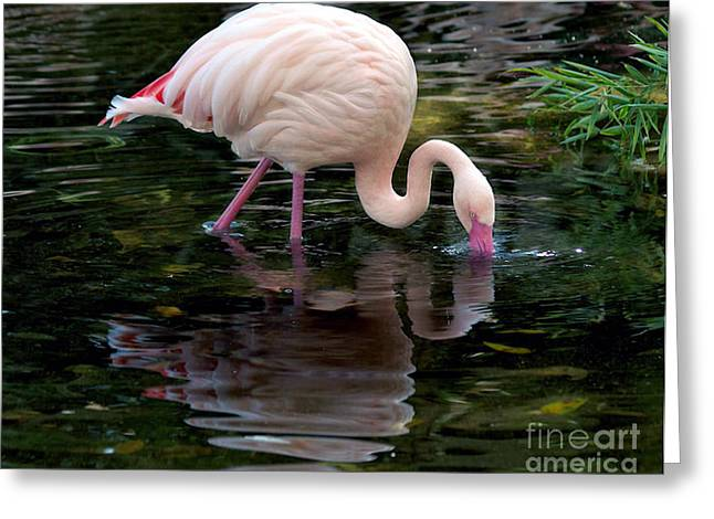 Greeting Card featuring the photograph Pink Flamingo by Ken Frischkorn