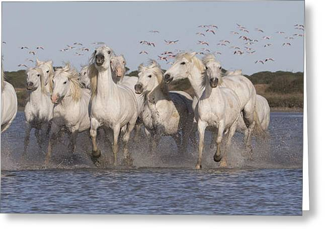 Pink Flamingoes And White Horses Greeting Card by Carol Walker