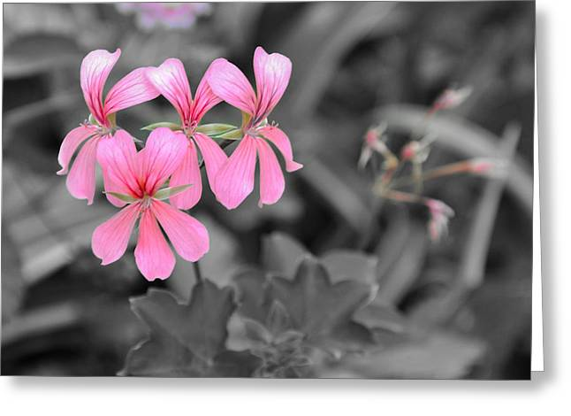 Pink Flowers On A Monochrome Background Greeting Card