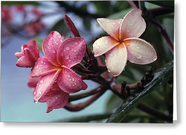 Pink Frangipani Flower And Raindrops Greeting Card