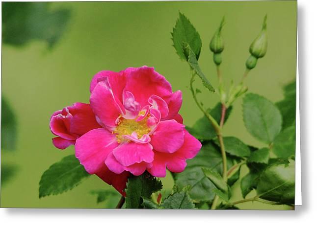 Pink Garden Rose Greeting Card by Debbie Oppermann