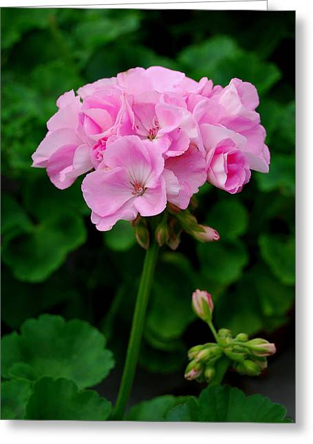 Greeting Card featuring the photograph Pink Geranium by Marilynne Bull
