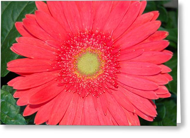 Pink Gerber Greeting Card by Pearson Photography