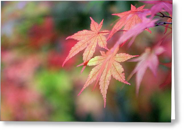 Pink Glow Maple Greeting Card