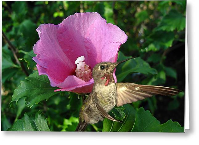 Ruby Throated Hummingbird Wall Art Greeting Cards - Pink Hibiscus and Hummer Greeting Card by Joyce Dickens