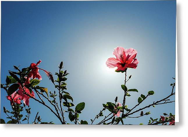 Pink Hibiscus Flowers Greeting Card by Tetyana Kokhanets