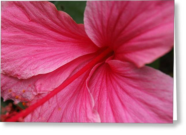 Pink Hibiscus Greeting Card by Kathy Schumann