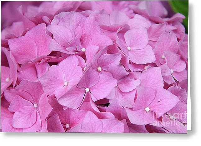 Pink Hydrangea Greeting Card by Elvira Ladocki