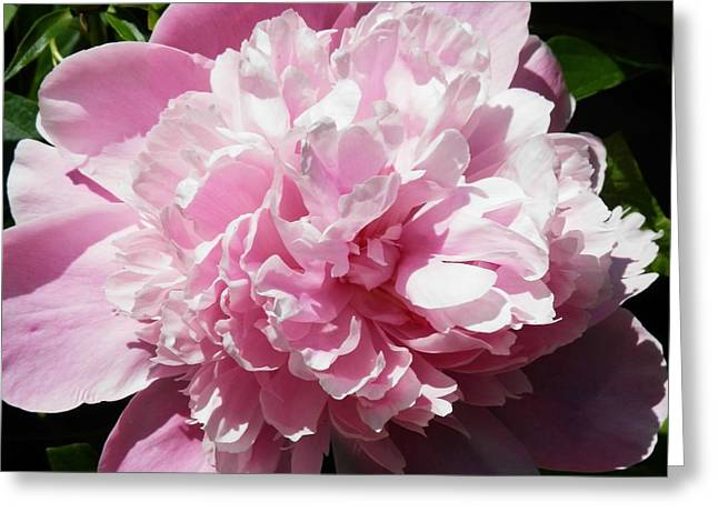 Pink In Bloom Greeting Card