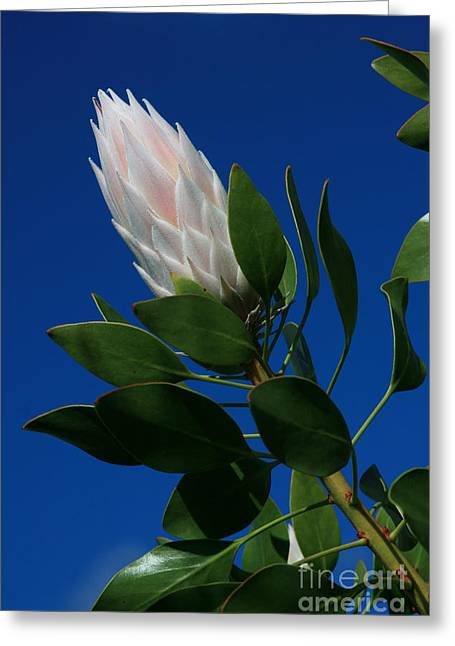 Pink King Protea Kula Maui Hawaii Greeting Card by Sharon Mau