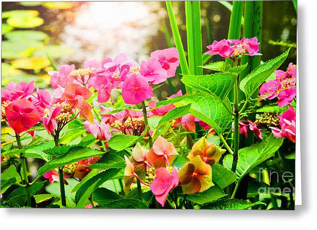 Pink Lace Cap Hydrangeas Greeting Card by MaryJane Armstrong