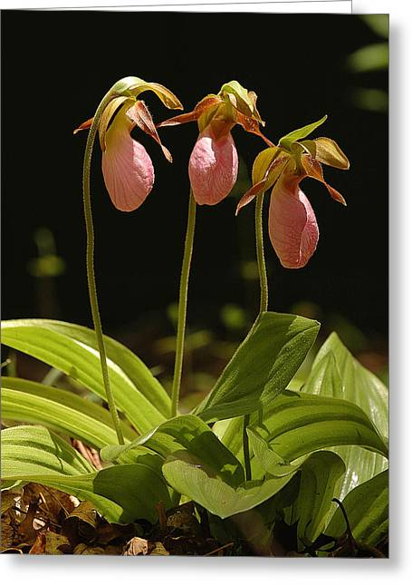 Pink Lady Slipper Greeting Card
