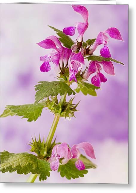 Pink Lamium Macro  Greeting Card by Sandra Foster