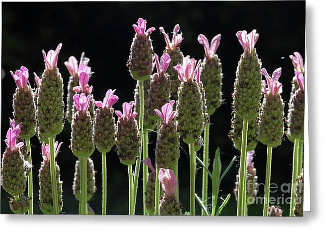 Pink Lavender Greeting Card