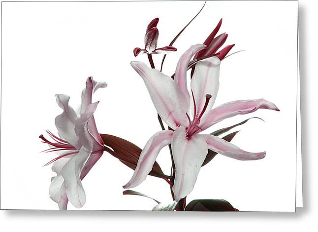 Pink Lily Greeting Card by Peter Dorrell