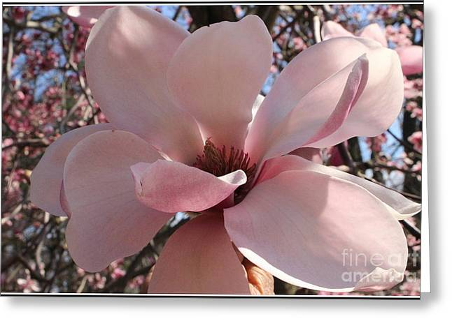 Pink Magnolia In Full Bloom Greeting Card