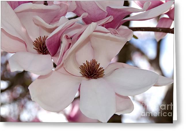 Pink Magnolia Greeting Card