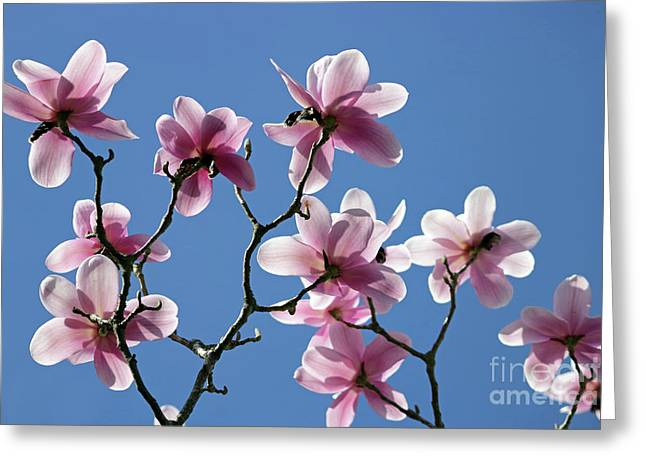Pink Magnolias  Greeting Card