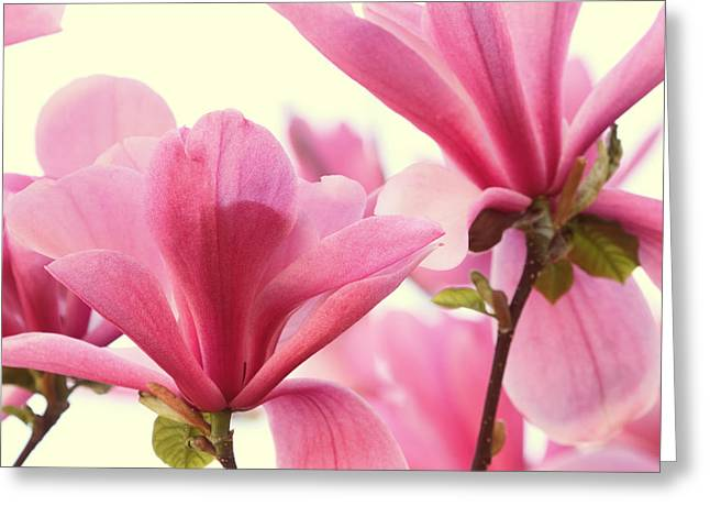 Pink Magnolias Greeting Card by Peggy Collins