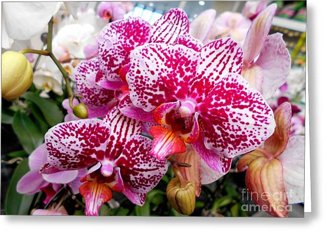 Pink Moth Orchids Greeting Card