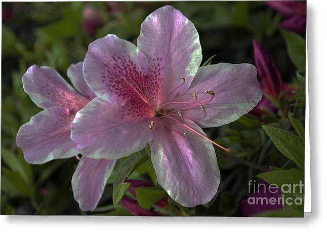 Pink On White Greeting Card by Skip Willits