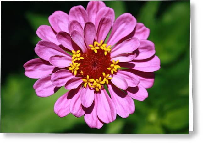 Pink Or Lavendar Greeting Card