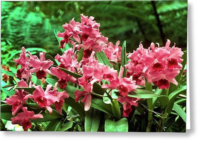 Festivities Greeting Cards - Pink Orchid Burst Greeting Card by Douglas Barnett