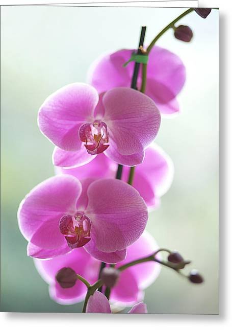 Pink Orchids Greeting Card by Kicka Witte - Printscapes