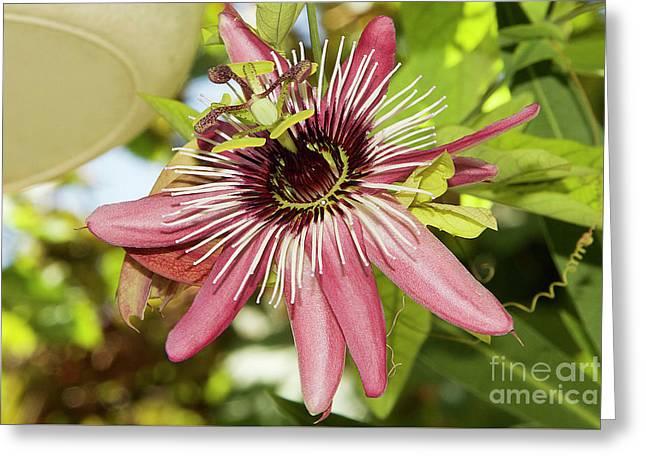 Pink Passiflora Greeting Card