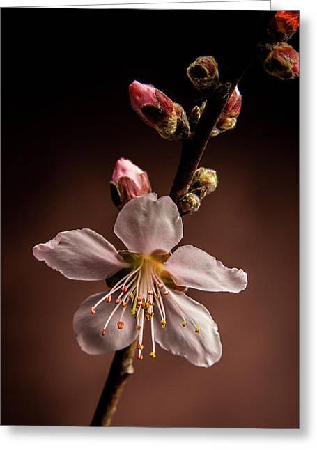 Pink Peach Blooms 5510.02 Greeting Card