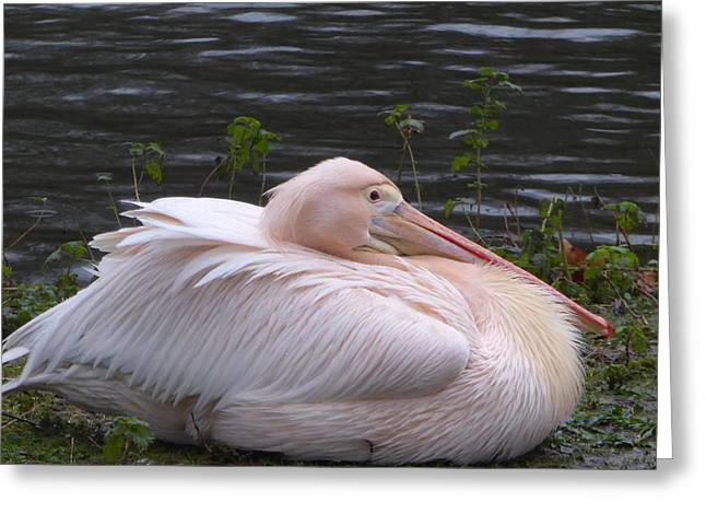Pink Pelican Greeting Card by Margaret Brooks