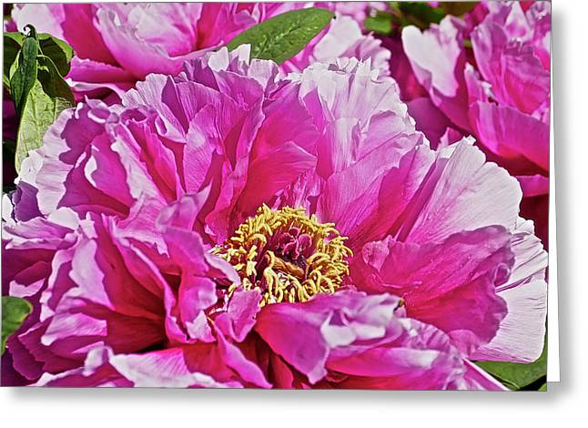 Pink Peony Greeting Card by Joan Reese