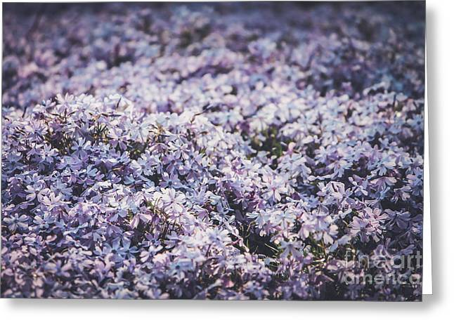Pink Phlox Blanket-close Up Greeting Card by Claudia M Photography