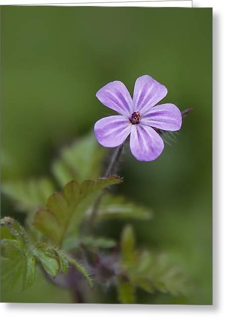 Pink Phlox Wildflower Greeting Card