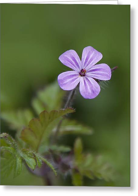 Greeting Card featuring the photograph Pink Phlox Wildflower by Ken Barrett