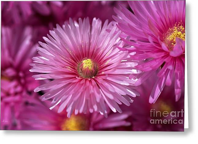Pink Pigface Flowers Greeting Card