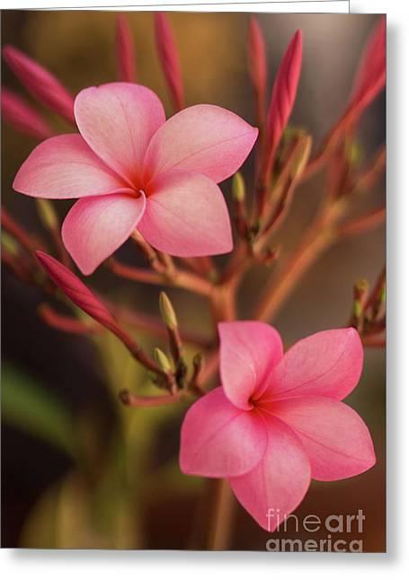 Pink Plumeria Rubra Greeting Card by Aged Pixel