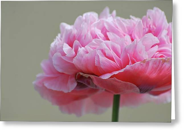 Greeting Card featuring the photograph Pink Poppy by Amee Cave