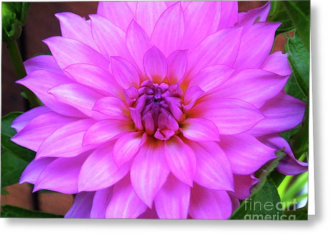 Greeting Card featuring the photograph Pink Purple Dahlia Flower by Kristen Fox