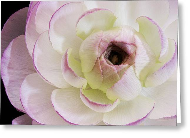Angelini Greeting Cards - Pink Ranuncula visit www.AngeliniPhoto.com for more Greeting Card by Mary Angelini
