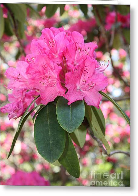 Pink Rhododendron Cluster Greeting Card by Carol Groenen