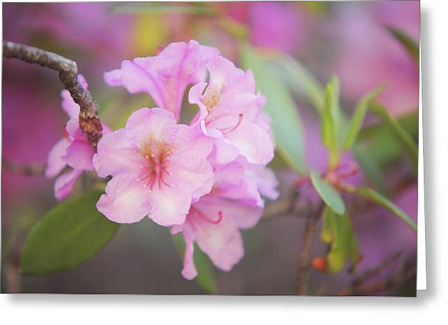 Pink Rhododendron Flowers Greeting Card