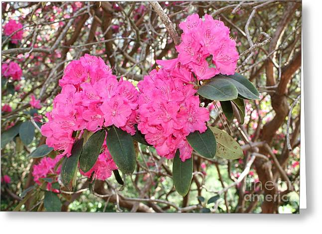 Pink Rhododendrons With Branches Greeting Card by Carol Groenen