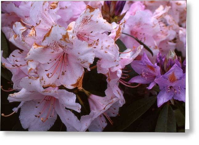 Pink Rhododendrums  Greeting Card by Lyle Crump