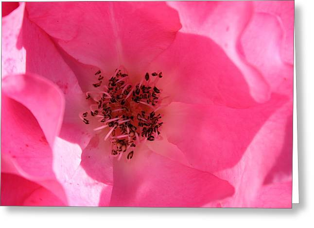 Pink Rose 1 Greeting Card by Yvonne Ayoub