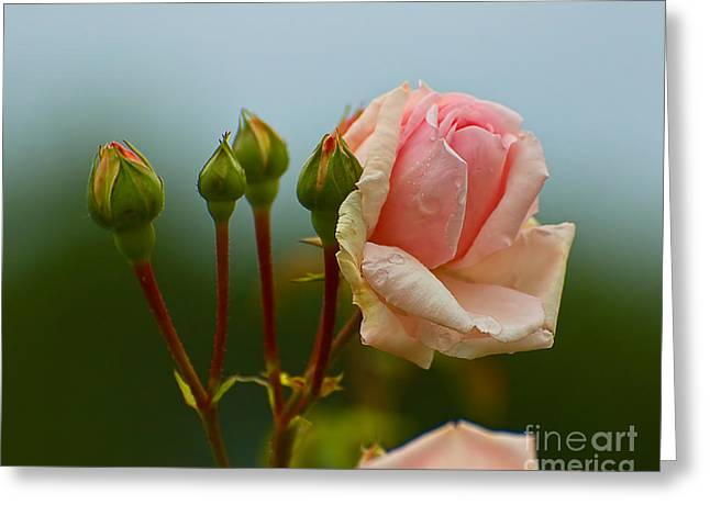 Pink Rose 2 Greeting Card