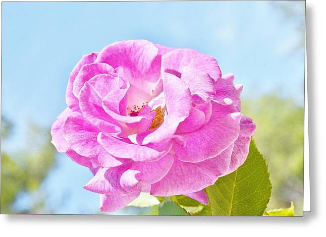 Pink Rose Against Blue Sky IIi Greeting Card by Linda Brody