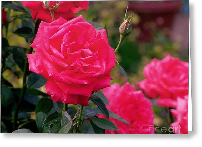 Pink Rose And Bud Greeting Card by Rod Ismay