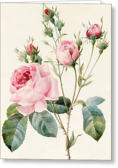 Pink Rose And Buds Greeting Card by Louise D'Orleans